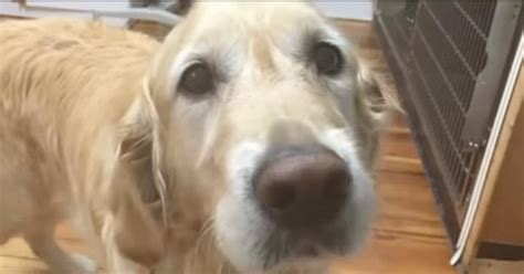 golden retriever saves owner awesome this service saves blind owner s and just wait to see how he did it