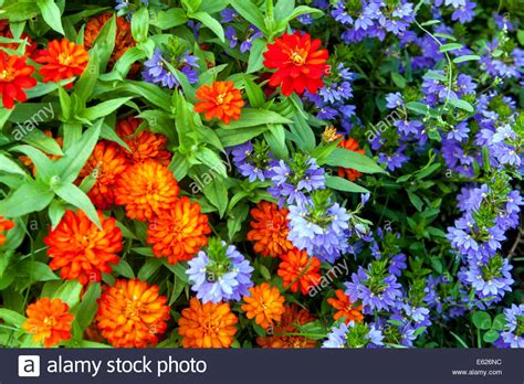 colorful flower bed of annual flowers zinnia haageana