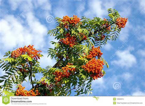 the branch of ashberry royalty free stock photo image