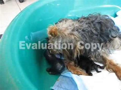 yorkies giving birth yorkie poo giving birth to second puppy part 1