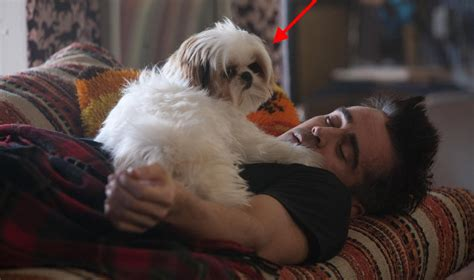 owning a shih tzu 12 reasons why you should never own shih tzus