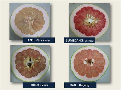 Bibit Jeruk Pamelo Thailand jeruk