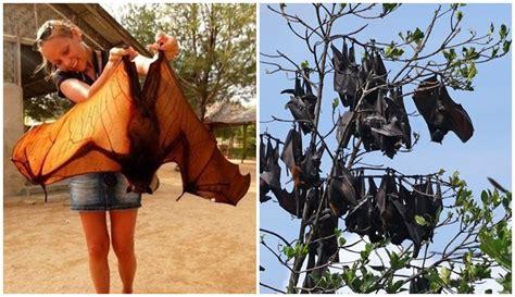 ngerinya megabats kelelawar berukuran raksasa