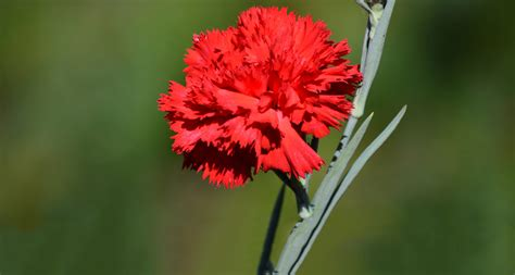what is a state flower ohio state flower scarlet carnation proflowers