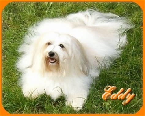 havanese weight standards havanese breeder dandy warrior havanese dogs havanese overview
