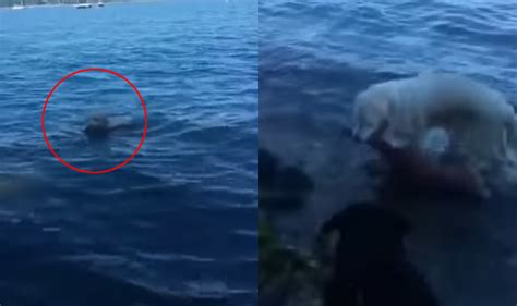 saves deer saves baby deer from drowning by jumping into waters island