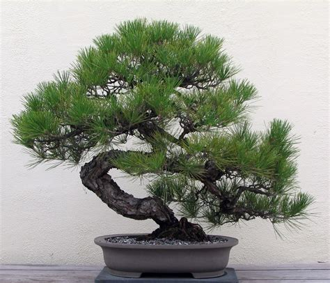bonsai ebay japanese black pine 25 seed bonsai ebay