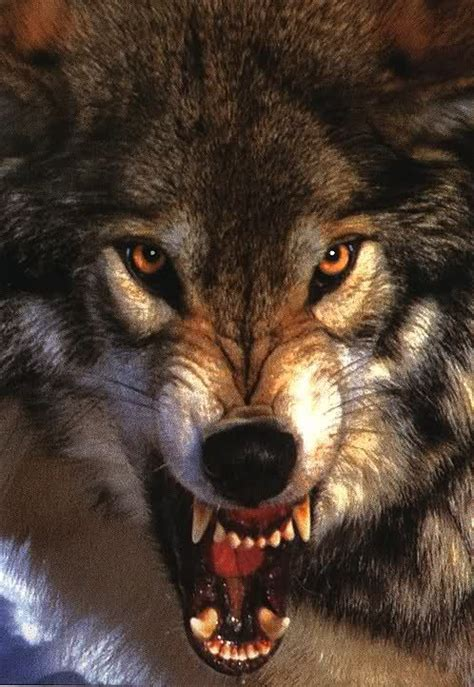 wolf growling   Snarling Wolf Large Closeup Bares Fangs ... Growling Black Wolf With Yellow Eyes