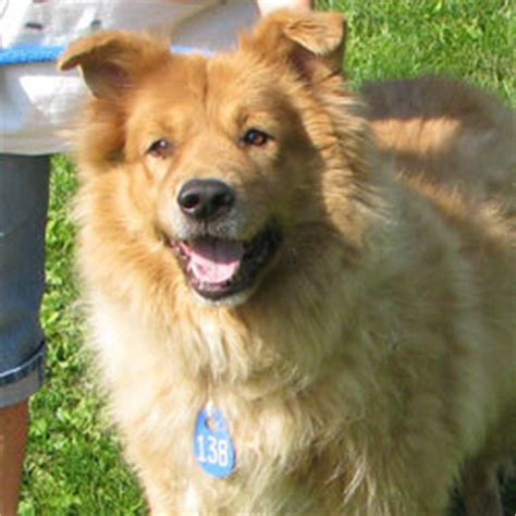 chow golden retriever mix chow golden retriever mix allmutt