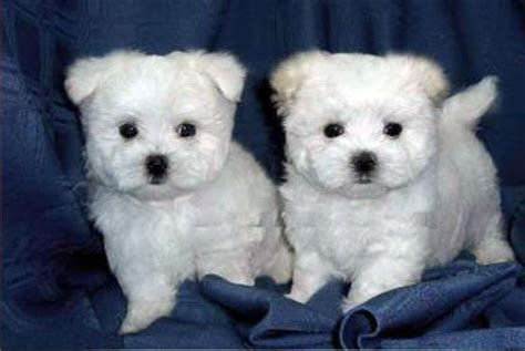 westchester puppies and kittens puppies and kittens photo gallery westchester puppies