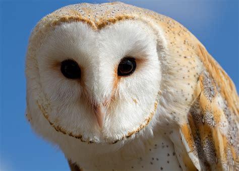 Pole Barn by File Female Barn Owl 1 6796240760 Jpg Wikimedia Commons