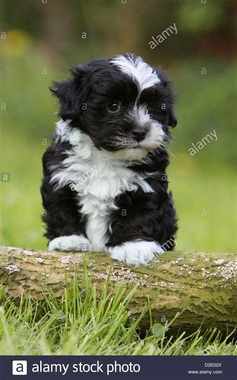 bichon havanese dogs black and white havanese puppy www pixshark images