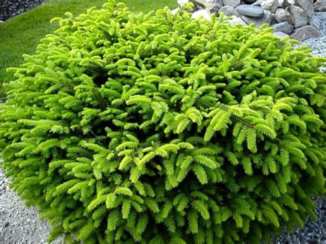 Common Name Birds Nest Spruce Spread 6 Height 3 Ft Common Landscaping Plants