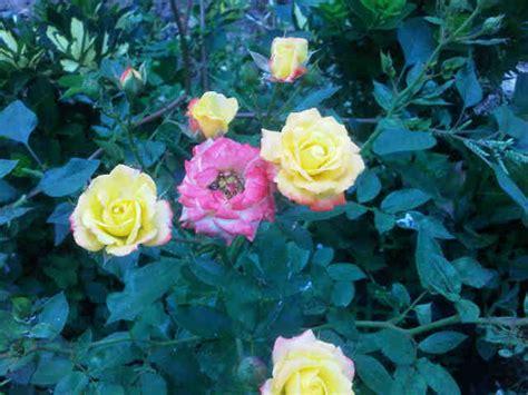 Pot Gantung Mawar 01 tanaman mawar floribunda colorado jual tanaman hias