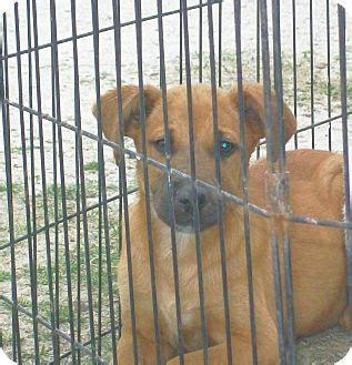 black cur golden retriever mix mexia tx black cur labrador retriever mix meet vance a puppy for adoption