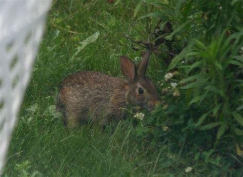 Backyard Rabbit by Cottontail In Backyard Rabbits