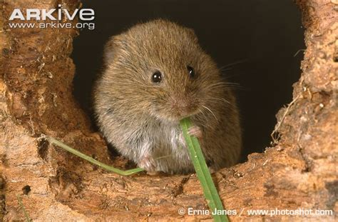 field vole videos photos and facts microtus agrestis