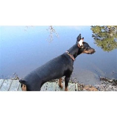 doberman puppies nc doberman pinscher breeders in carolina freedoglistings design breeds picture