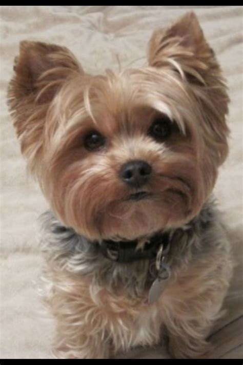 yorkies hair cut yorkie puppy cut haircut breeds picture