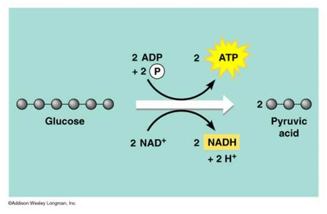 pyruvate oxidation diagram oxidation reduction glycolysis