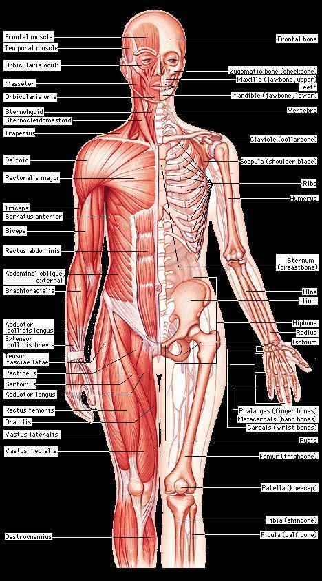 diagram of muscular system muscular skeletal diagram effects