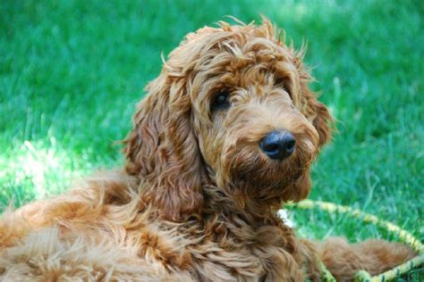 irish setter golden doodle 17 best images about irish doodles on pinterest poodles
