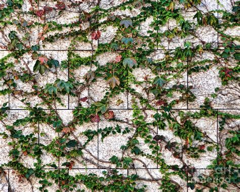 vines on marble wall photograph by norma warden