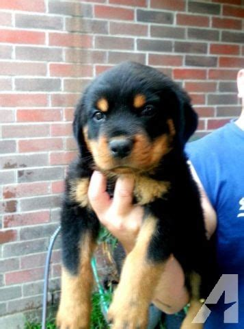 rottweilers for sale in houston akc german rottweiler for sale in houston classified americanlisted