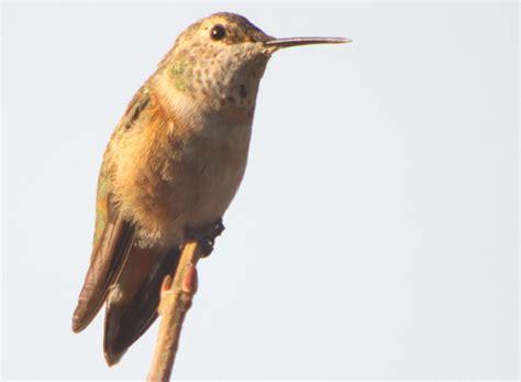 10 000 birds two hummingbirds in new york in november