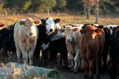 bulls, cows and how to breed cattle | tractor supply co.