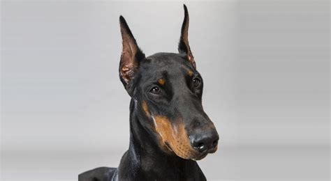 how to a doberman puppy doberman pinscher breed information american kennel club