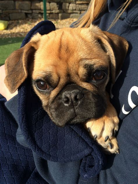 bulldog cross pug beautiful pug cross bulldog east boldon tyne and wear pets4homes