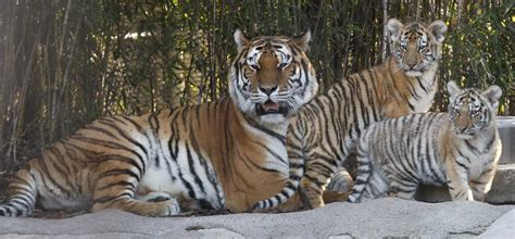 russia home to last population of amur tigers in the