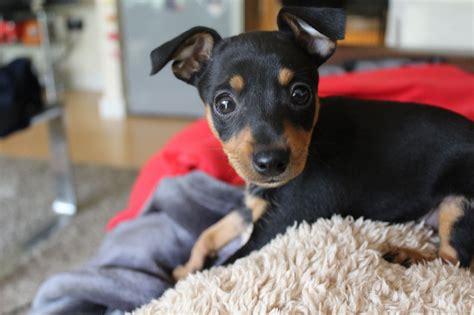 miniature pinscher puppies for adoption miniature pinscher puppy 10 weeks leeds west pets4homes