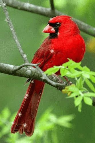 cardinal bird gifs tenor