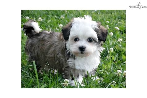 havanese puppies for sale in ky skip havanese puppy for sale near bowling green kentucky 58447225 6021