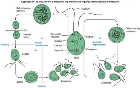 labelled diagram of chlorella flagella structure diagram cytoskeleton diagram elsavadorla