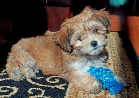 havanese pekingese mix huckleberry finn the havanese mix puppies daily puppy