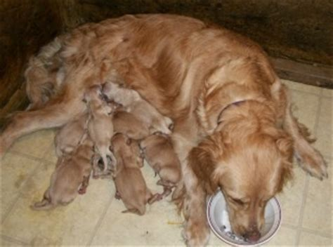 taking care of newborn puppies care of newborn puppies