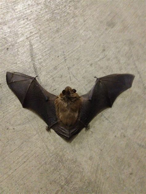 michigan bats see how easily you can identify them