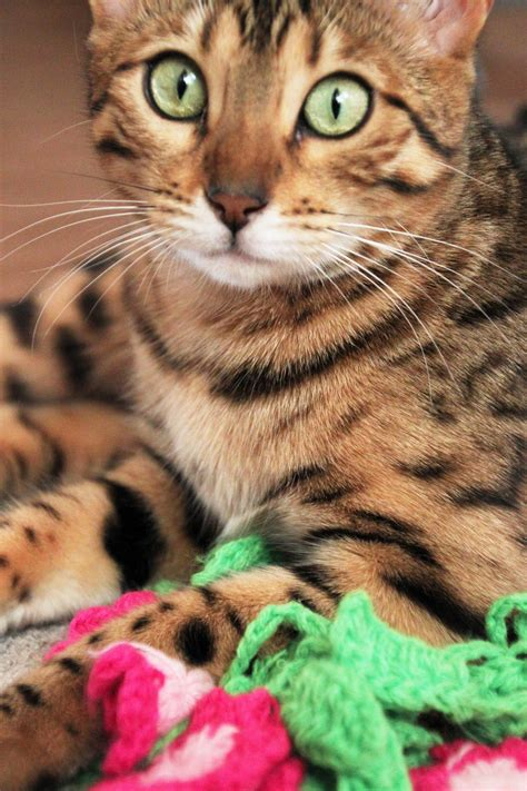 theme litter names our 2015 upcoming litter themes leopardkind bengals