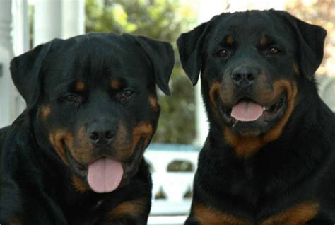 rottweiler with children pictures of rottweilers we sold