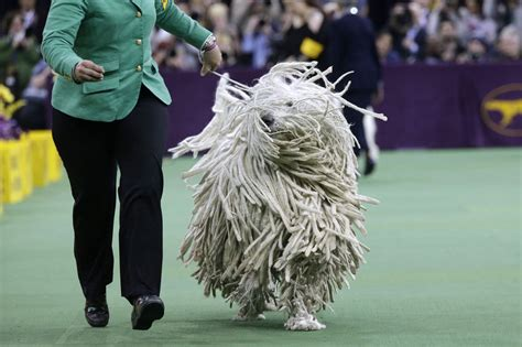 what channel is westminster show on 139th annual westminster kennel club show kicks in nyc msnbc