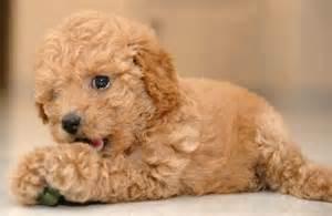 Light Shedding Dogs Top 10 Melhores Ra 231 As De Cachorros Para Apartamento