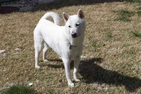 ken puppies kishu inu info temperament care puppies pictures