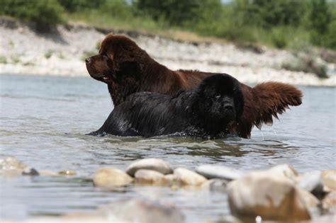 nymphas noirs terres de b005r2108m un terre neuve noir et un marron qui se baignent