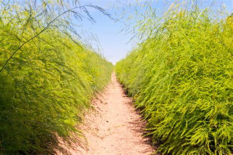 Spargel Im Garten by Spargel Pflanzen Spargel Pflanzen Wir Sind Im Garten Spargel Pflanzen Wir Sind Im Garten