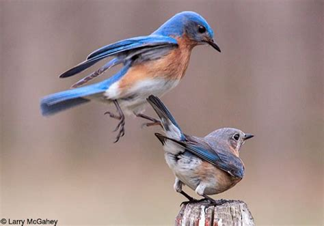 eastern bluebird behavior birds of north america online