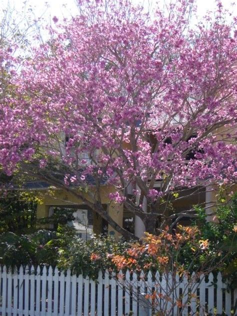 Japanese Homes For Sale purple orchid tree yard makeover pinterest