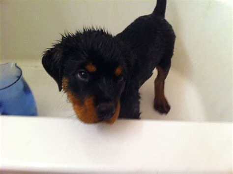 puppy bath time 12 puppies who just had their bath